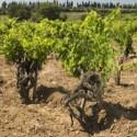 The stony clay soil of Santa Duc's Hautes Garrigues produces superb Gigondas