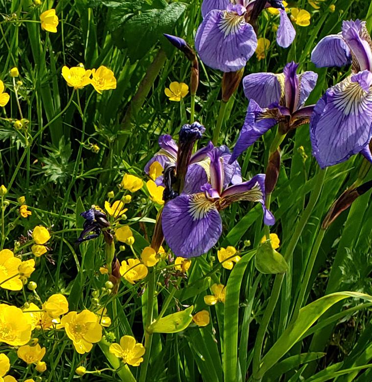 wild irises at Dyea