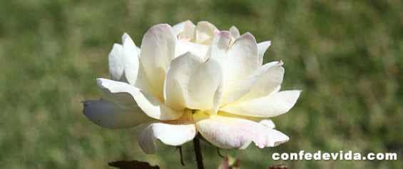 Poema Cultivo una Rosa Blanca