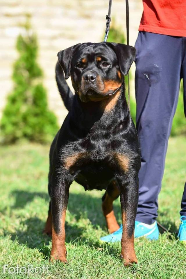 Alfa Deus Dog