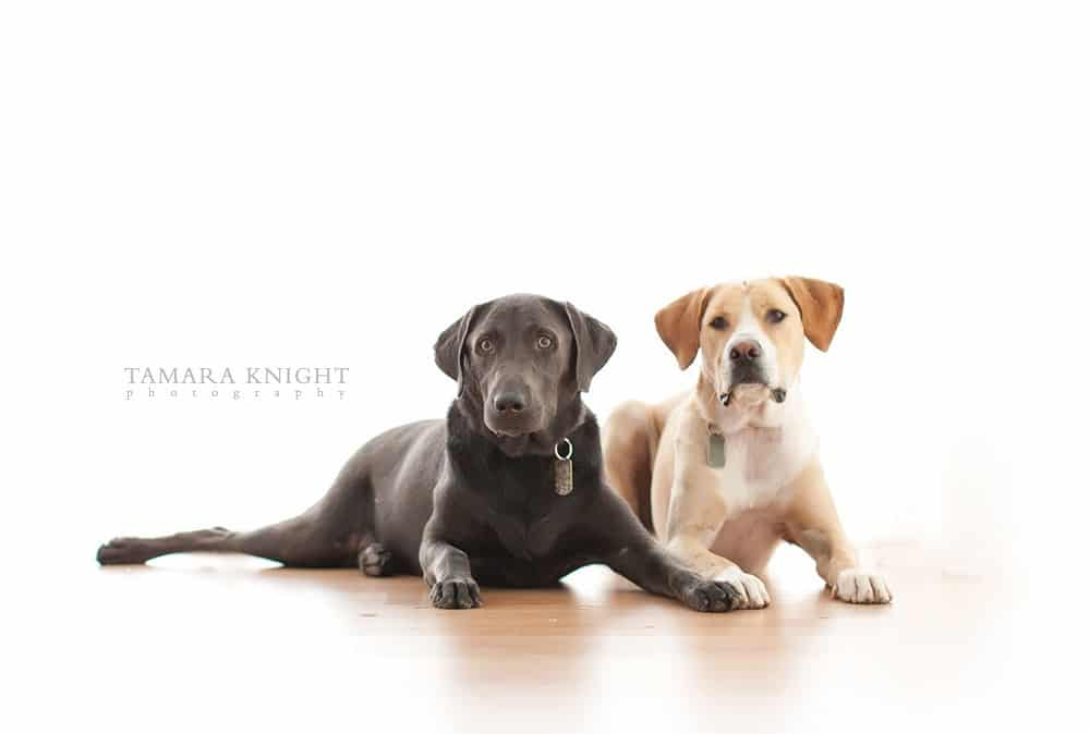 2 dogs in the studio by Tamara Knight Personal Branding Photographer