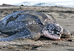 Watch Leatherback Sea Turtles nest and hatch in Las Baulas National Park
