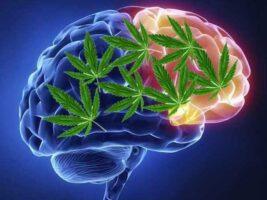 El cerebro y la marihuana