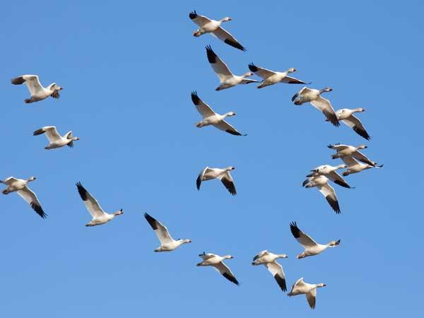 El enigma de las aves migratorias: otra evidencia de diseño inteligente