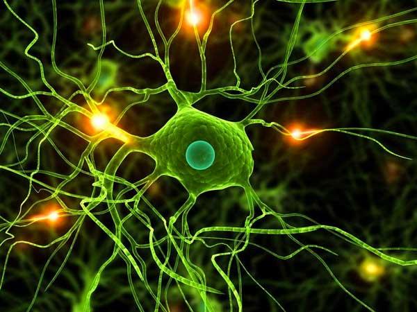 Una argentina descubrio que las neuronas cambian de funcion