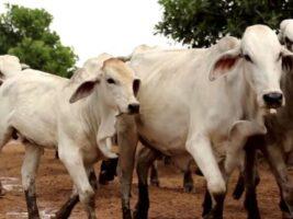 Estrés en ganado: causas y consecuencias