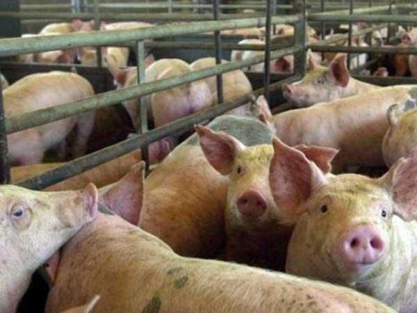 China invertiría en la producción de carne de cerdo