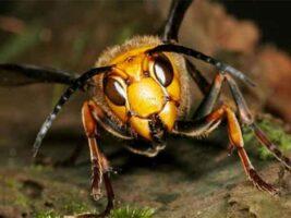 abejas alerta en la colmena