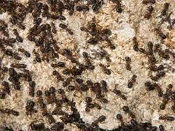 invasion de hormigas argentinas