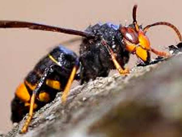 La avispa asiática a la caza de abejas
