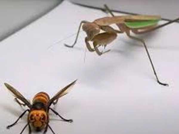 La lucha a muerte entre una mantis religiosa y un avispón gigante