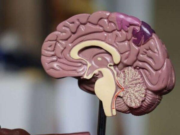 To let neurons talk, immune cells clear paths through brain's 'scaffolding'