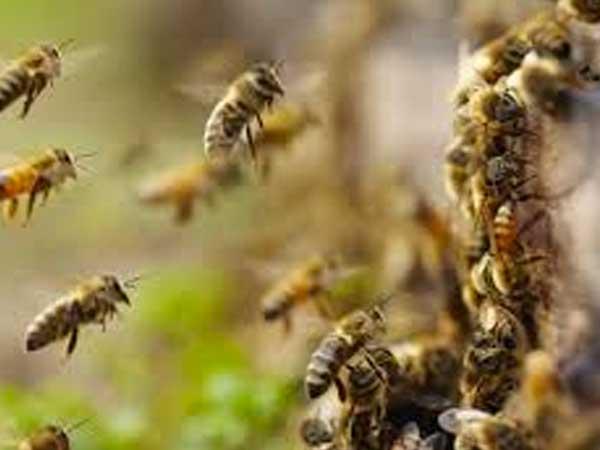 Las abejas africanizadas. ¿Otro error del ser humano?