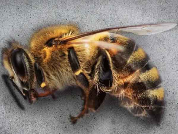 rudolf steiner abejas