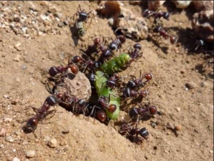El increíble secreto de las hormigas argentinas para evitar que se produzcan embotellamientos