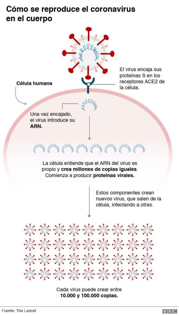 como se produce el coronavirus en el cuerpo