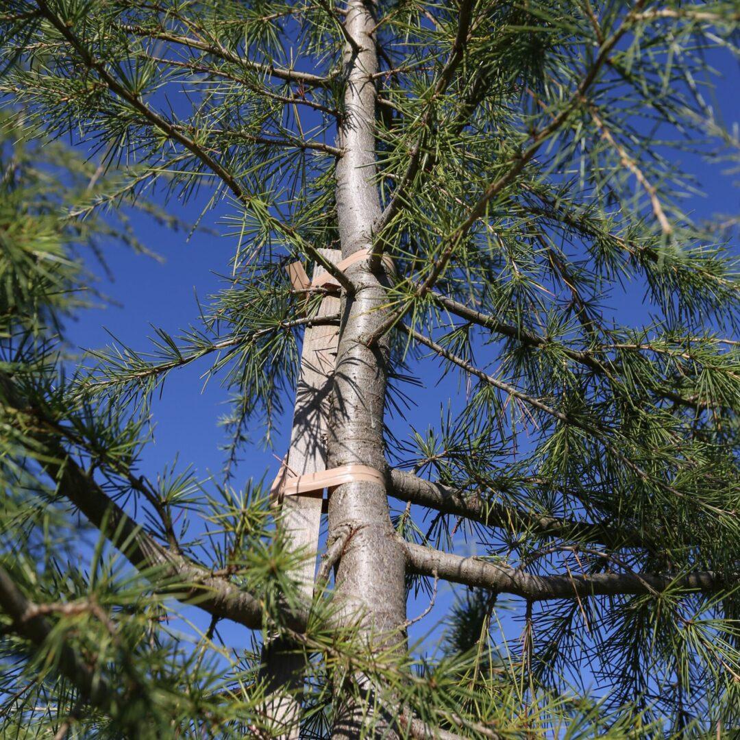 Tan 10x1 on conifer