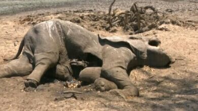 Photo of Zim wildlife succumbs to drought.