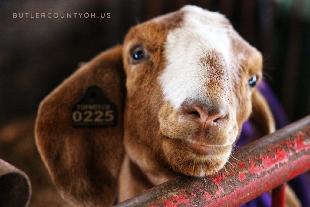 Goats_Family_Fun_Fair