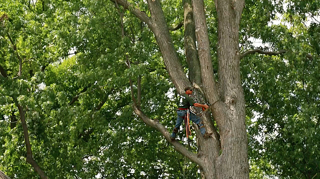 oakland tree service mark climbing