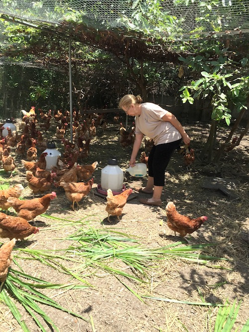 Alice Pena protects the free-ranging chickens from predators with nets over the chicken yard./ photo provided