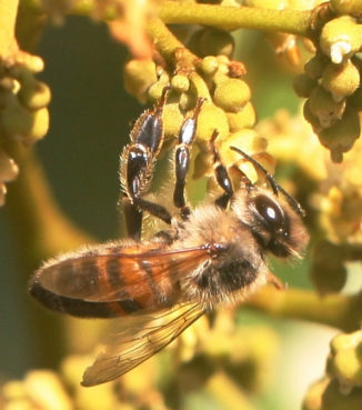 On Aug. 12-13, UF's Institute of Food and Agricultural Services in Davie is hosting the South Florida Bee College.