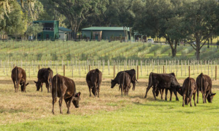 Clear Creek Farm's operation includes wagyu embryos and olive oil