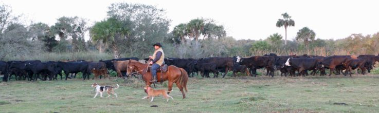 "member of the Seminole Tribe of Florida's ""Cow Crew"" helps lead cattle"