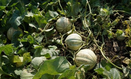 Five fun facts about cantaloupes (they can serve as bowling balls)