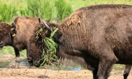 The buffalo (er, bison) really roam at 6,500-acre Three Suns Ranch