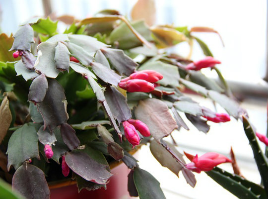7 household plants that clean the air of harmful toxins-christmas-cactus