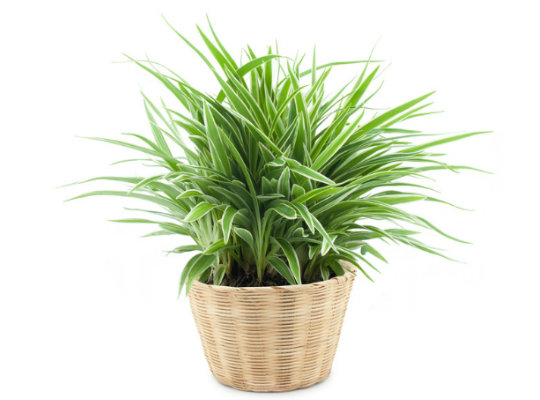 7 household plants that clean the air of harmful toxins-spider plant