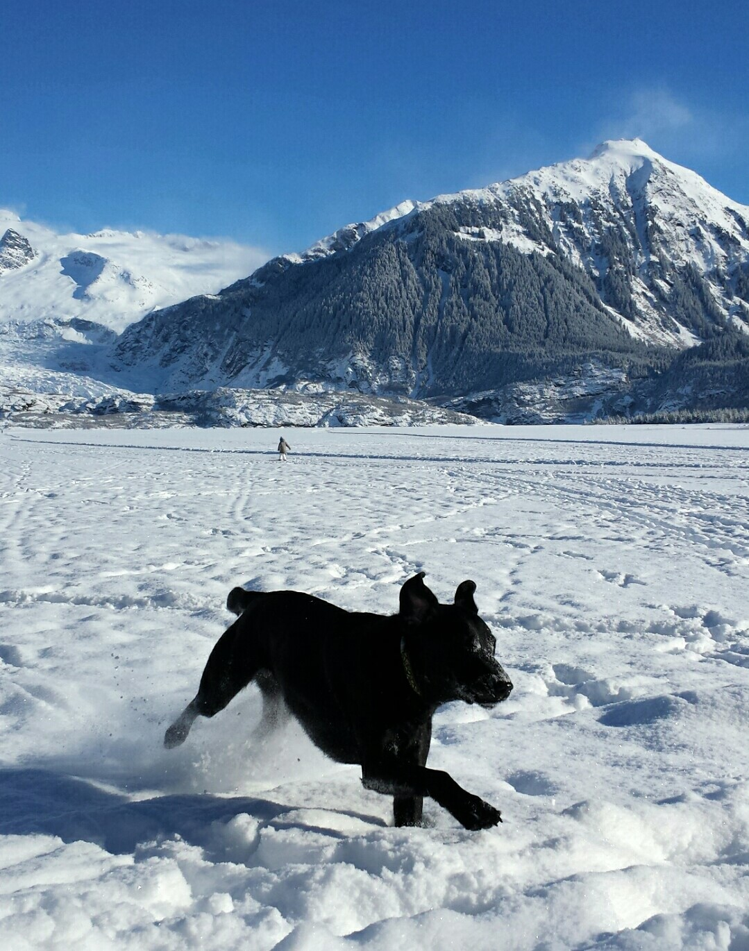 Photo of a black Labrador running and playing on frozen Mendenhall Lake.