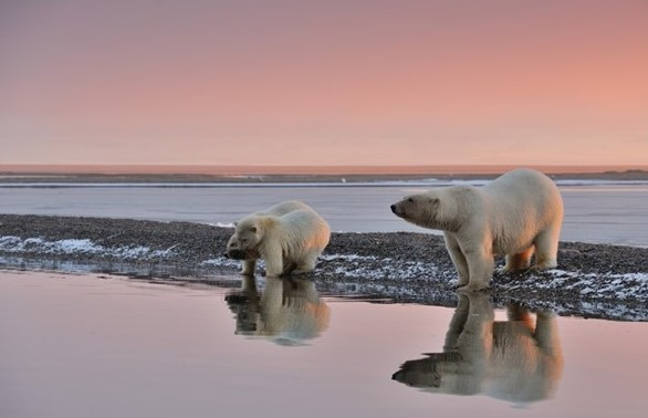 Polar bear sow with her 2 cubs at the water's edge at dawn in Alaska's Arctic Circle