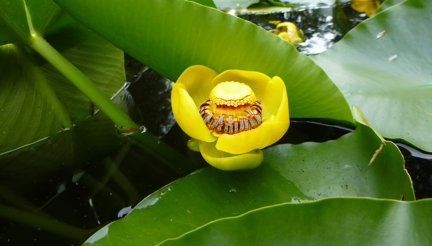 Single perfect yellow lily blossom amid green lily pads on the pond.