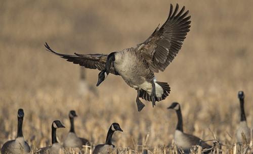 Goose Hunts in MD