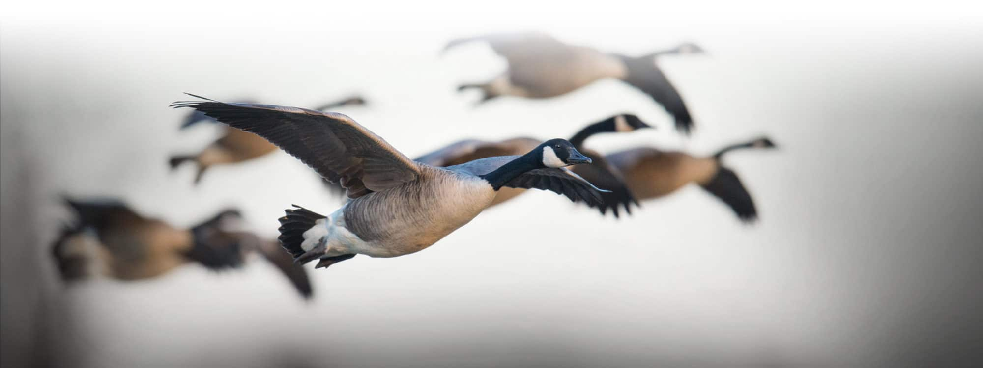 Goose Hunting in MD