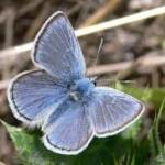 Mission Blue Butterfly SBMW