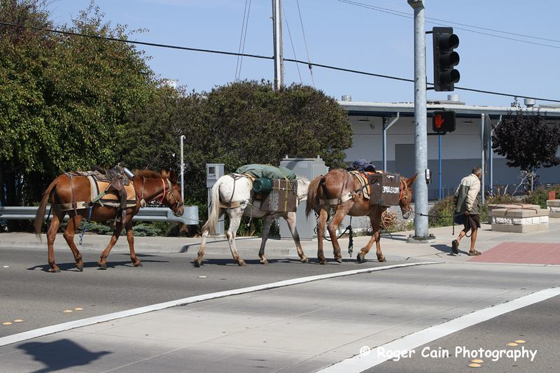 """Crossing Spruce Avenue, the 3 mules continue on their travels. """"He is a man of few words"""" comments Photographer ROGER CAIN"""