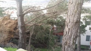 The Rocca fallen tree as seen during daylite Photo: Angela De Benedetto