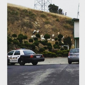 Goats gone wild is captured by another SSF neighbor