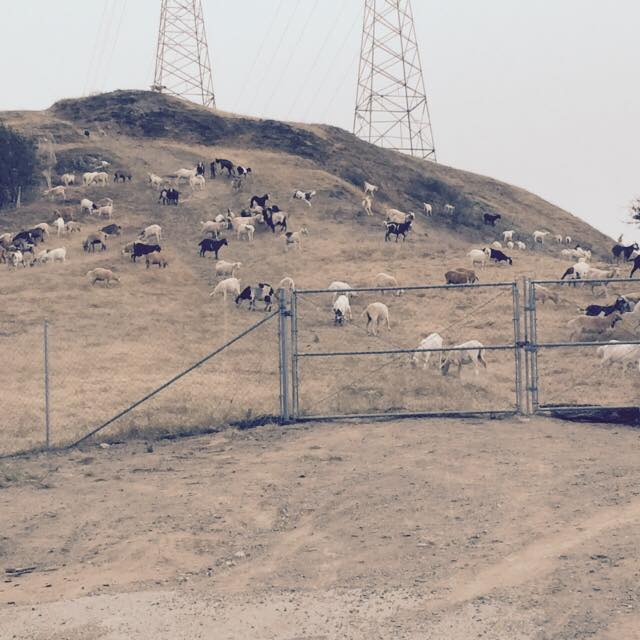 Goats eating weeds and brush that could pose a fire concern. Photo Angie Granera