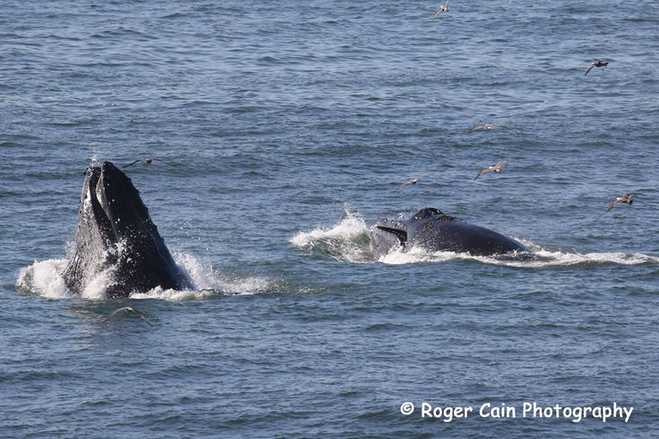 Humpbacks feeding off the coast in Pacifica 6.15.2016