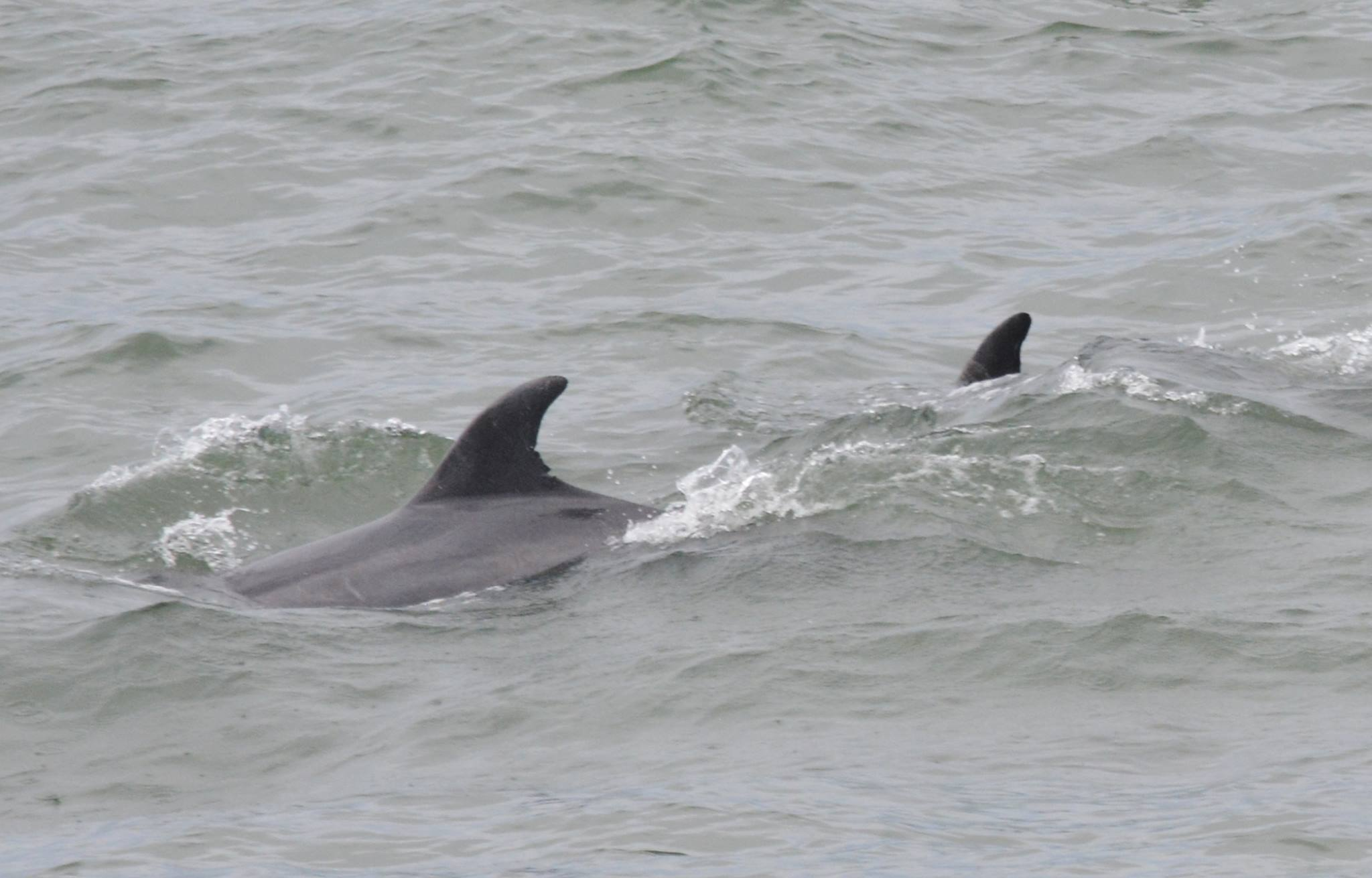 Whales feeding at Pacifica Pier today Photos: Vinny Vance
