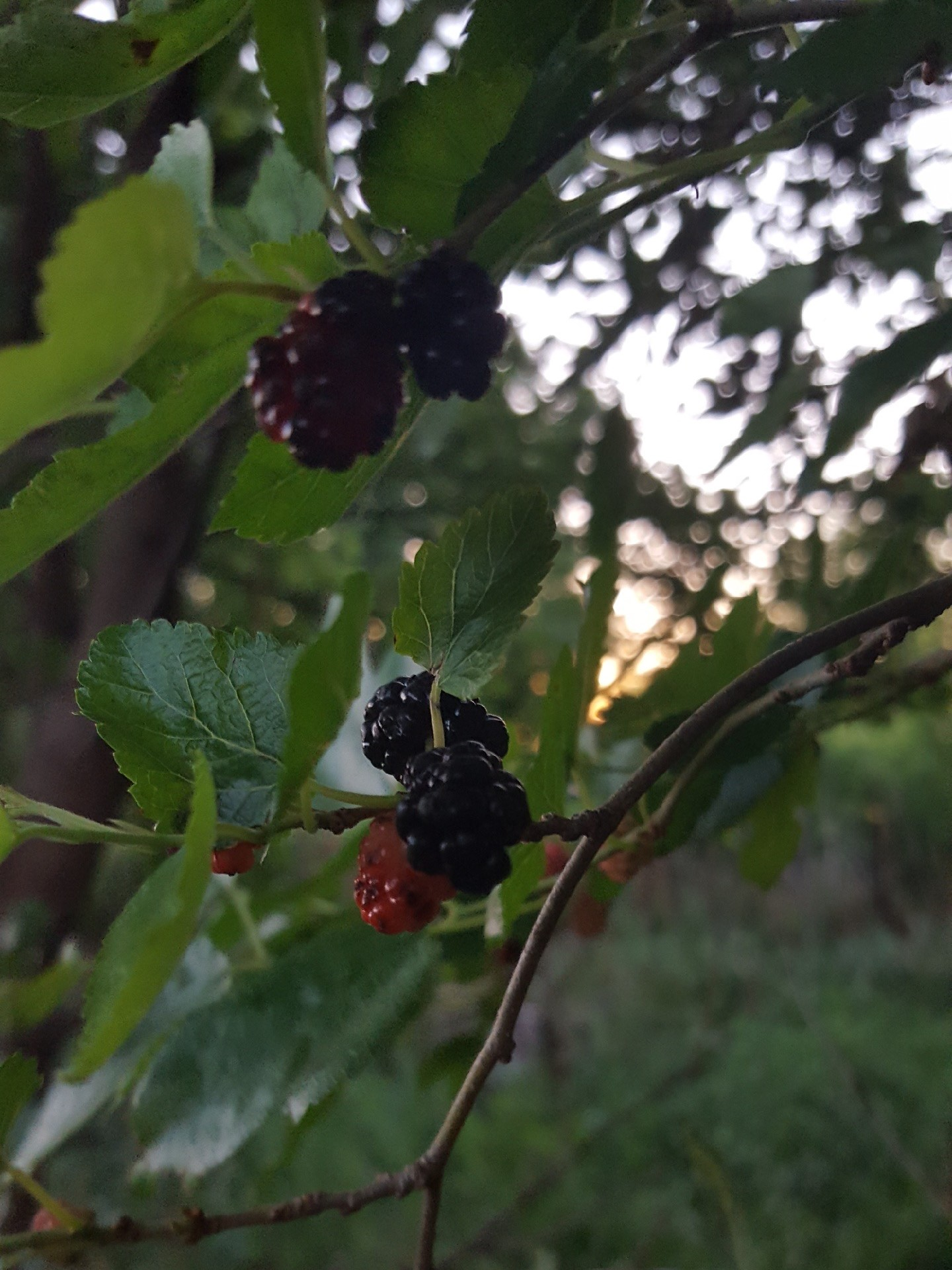 Amy found mulberries.