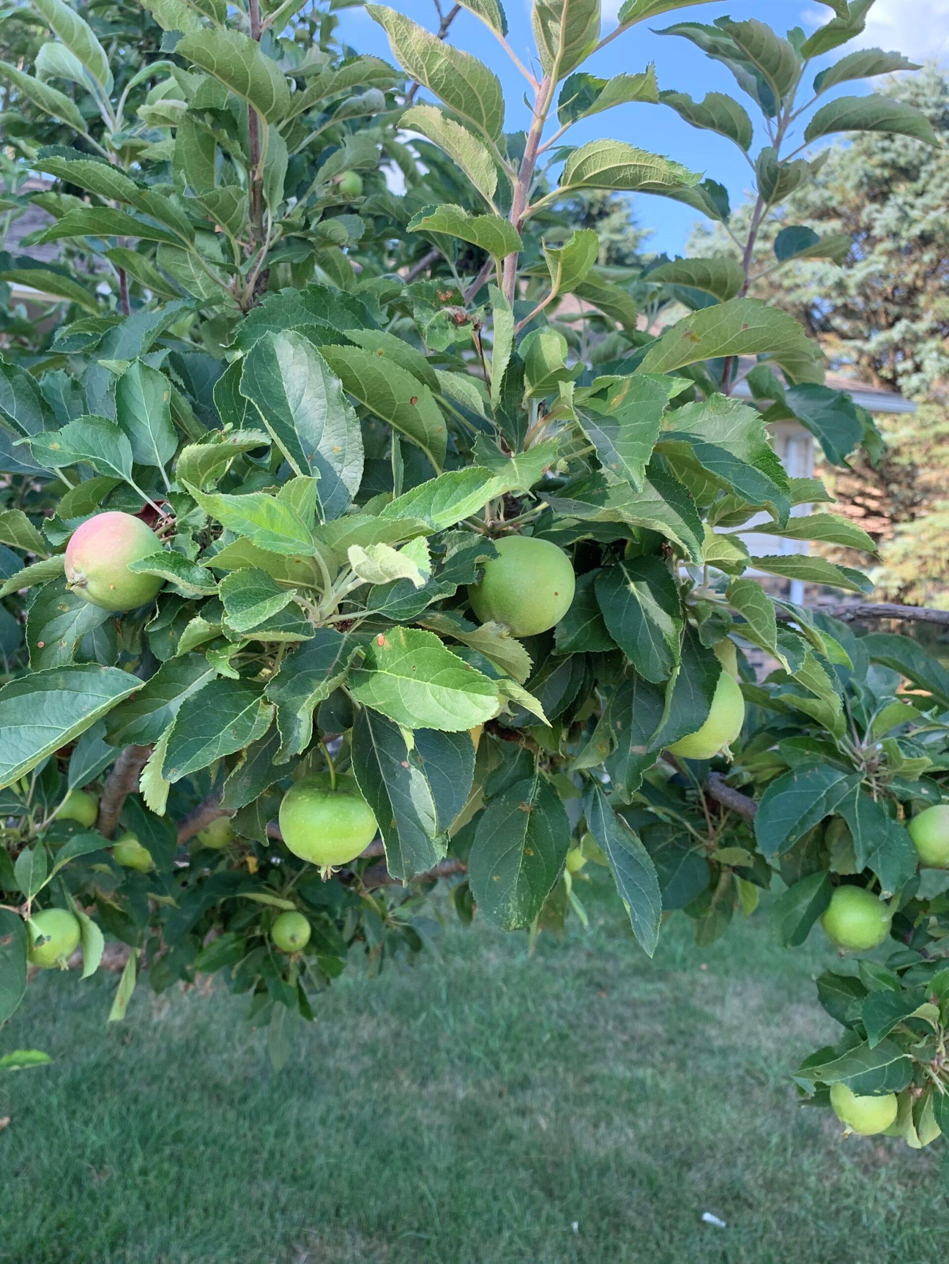Pastor Dave found apples.