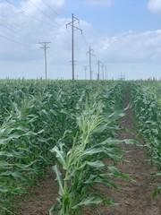 Gene found corn.