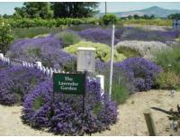 OSU Lavender Garden