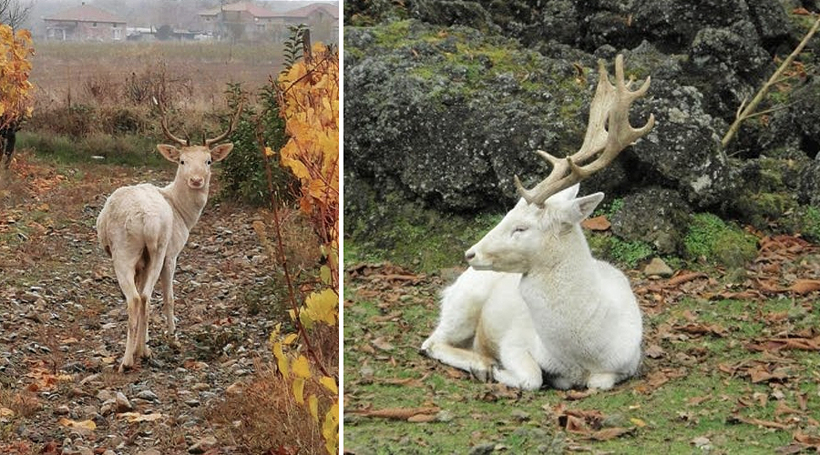 Бял елен слезе от Балкана в Карловско. Носи красива поличба!