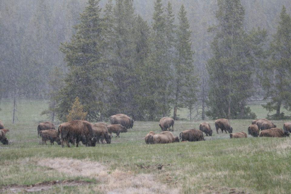 Bison herd Yellowstone National Park
